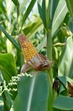 Plant of sweet corn on the field Royalty Free Stock Image