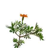 Plant  tagetes c snails on a white background. Royalty Free Stock Photos