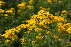 Plant of Tansy Royalty Free Stock Images