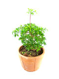 Plant in terracotta pot Stock Photos