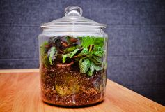 Plant terrarium in the closed glass jar royalty free stock photo