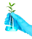 Plant in a test tube Royalty Free Stock Photography