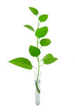 Plant in a test tube Stock Photo