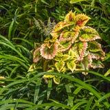 Close up coleus. Plant texture structure leaves nature, Coleus Royalty Free Stock Photos
