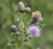 A plant of thistles - close-up on a violet flower. This image shows a field full of thistle plants with a close-up on one of the violet flowers Royalty Free Stock Photos