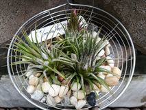 A plant of  Tillandsia. With the stone in the garden Royalty Free Stock Images