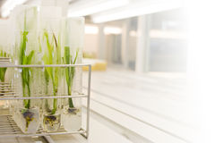 plant tissue culture Royalty Free Stock Photography