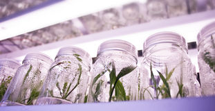 Plant tissue culture Royalty Free Stock Images
