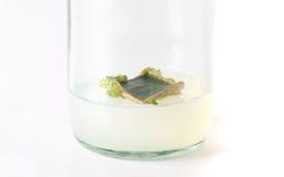 Plant tissue culture Stock Photos