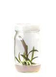 Plant tissue culture Royalty Free Stock Photo