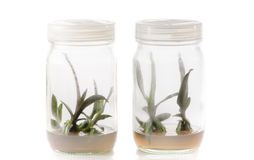 Plant tissue culture Stock Photo