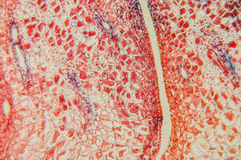 Plant tissue Royalty Free Stock Image
