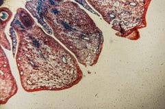 Plant tissue Stock Image