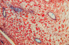 Plant tissue Stock Images