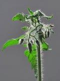 Plant tomato. Close up, ovaries fruits, fluffy coating Royalty Free Stock Photos