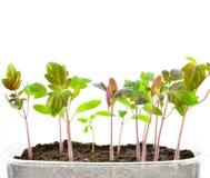 Plant of tomato Royalty Free Stock Photo