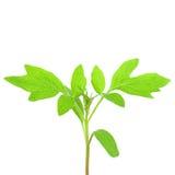 Plant of tomato stock photos