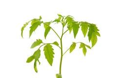 Plant of tomato isolated on white background. royalty free stock image