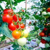 Plant  tomatoes in greenhouse Royalty Free Stock Photo