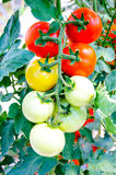 Plant  tomatoes in greenhouse Stock Photo
