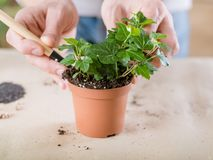 Plant transplantation home flora hand replanting royalty free stock images