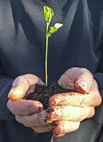 Plant a tree. Two hands cupped around a seedling ready to be popped into a new home to grow royalty free stock photo