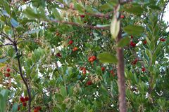 Plant or tree with green leaves. the red fruit is called marmolotto. arbutus unedo or artocarpus. juicy and tasty fruit royalty free stock photography