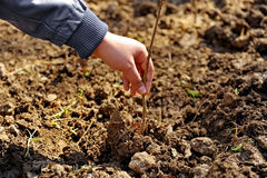 Plant a tree. Hand of a man holding a young newly planted tree Royalty Free Stock Image