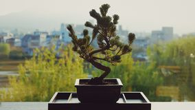 Plant, Tree, Houseplant, Bonsai stock photo
