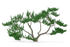 Plant tree isolated. exotic pine. See my other works in portfolio Royalty Free Stock Photo