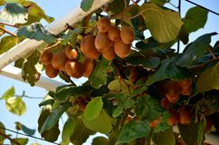 Kiwis or Actinidia. Plant or tree of kiwi royalty free stock photography