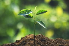 Plant a tree passion fruit Sapling in nature light and blackground. Green Stock Images
