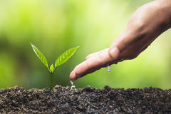 Plant, tree, planting, life, agriculture, environment, background, new, green, nature, growing, concept, hands, grow, leaf, seedli. Fresh Coffee tree Green stock image
