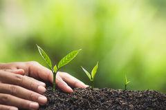 Plant, tree, planting, life, agriculture, environment, background, new, green, nature, growing, concept, hands, grow, leaf, seedli. Fresh Coffee tree Green royalty free stock photography