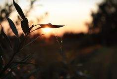 Plant, tree silhouette at sunset in sunlight with a cobweb spider web Royalty Free Stock Images