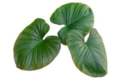 Plant tropical jungle leaves, The plant used design pattern, on white background, clipping path stock image