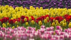 Plant: Tulip Stock Images