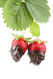 Plant with two organic strawberries covered with m Royalty Free Stock Images