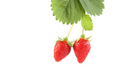 Plant with two organic strawberries isolated on wh Royalty Free Stock Images