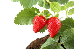 Plant with two strawberries isolated Royalty Free Stock Photography