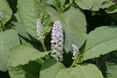 Flower and leaves of the Asian Pokeweed, Phytolacca acinosa royalty free stock image