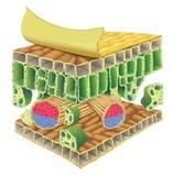 Plant vascular tissue Stock Photo