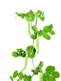 Plant is a vegetable of peas  Royalty Free Stock Images