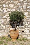 Plant in vintage terracotta flowerpot Royalty Free Stock Photo