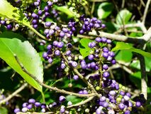 Plant with violet berries Stock Photos