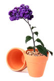 Plant violet colours Royalty Free Stock Photography