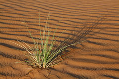 Plant in the Wahiba Sands desert in Oman. In the morning sun Stock Photography