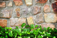 Plant wall. The old wall was covered with plants can use for the background Royalty Free Stock Images
