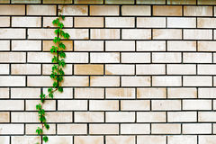 Plant on the wall. Plant grows up on the wall Royalty Free Stock Photos