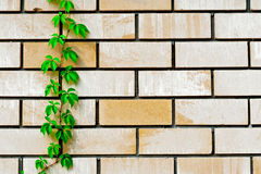 Plant on the wall. Plant grows up the wall Stock Image